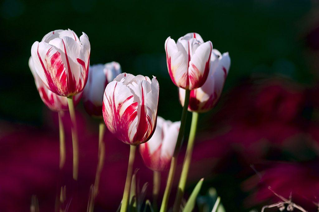 Bulles financières: de la tulipomanie au Bitcoin ? Image de tulipes.